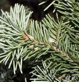 jedle lasiocarpa <i>(Abies lasiocarpa)</i> / List