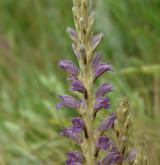 záraza písečná <i>(Orobanche arenaria)</i> / Květ/Květenství