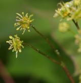 javor kapadocký <i>(Acer cappadocicum)</i> / Květ/Květenství