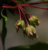 javor mandžuský <i>(Acer mandshuricum)</i> / Květ/Květenství
