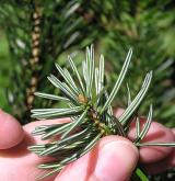 jedle cephalonica <i>(Abies cephalonica)</i> / List
