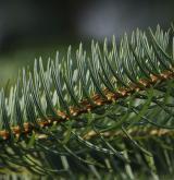 jedle cephalonica <i>(Abies cephalonica)</i> / Habitus