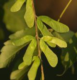 javor žumenolistý <i>(Acer cissifolium)</i> / Plod