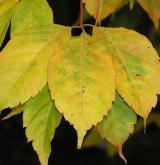 javor žumenolistý <i>(Acer cissifolium)</i> / List