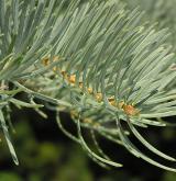 jedle ojíněná <i>(Abies concolor)</i> / List