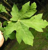 javor velkolistý <i>(Acer macrophyllum)</i> / List