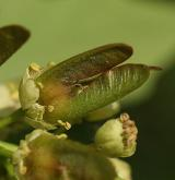 javor velkolistý <i>(Acer macrophyllum)</i> / Plod