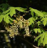 javor velkolistý <i>(Acer macrophyllum)</i> / Květ/Květenství