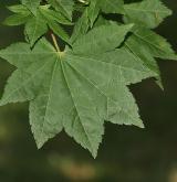 javor Sieboldův <i>(Acer sieboldianum)</i> / List
