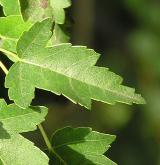 javor Semjonovův <i>(Acer semenowii)</i> / List