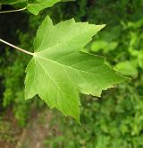 javor červený <i>(Acer rubrum)</i> / List
