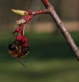 javor červený <i>(Acer rubrum)</i> / Květ/Květenství
