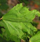 javor mléč <i>(Acer platanoides)</i> / kultivary