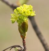 javor mléč <i>(Acer platanoides)</i> / Květ/Květenství
