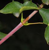 javor kapadocký <i>(Acer cappadocicum)</i> / Stonek