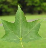 javor kapadocký <i>(Acer cappadocicum)</i> / List