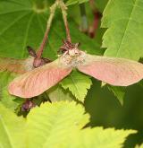 javor japonský <i>(Acer japonicum)</i> / Plod