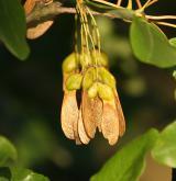 javor francouzský <i>(Acer monspessulanum)</i> / Plod