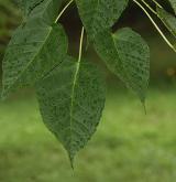 javor Davidův <i>(Acer davidii)</i> / List