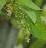 javor Davidův <i>(Acer davidii)</i> / Květ/Květenství