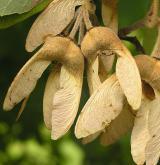 javor nikóský <i>(Acer maximowiczianum)</i> / Plod
