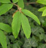 javor nikóský <i>(Acer maximowiczianum)</i> / List