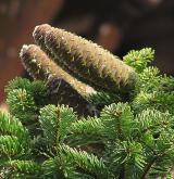 jedle nordmanniana <i>(Abies nordmanniana)</i> / Plod