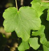 javor tupý <i>(Acer obtusatum)</i> / List