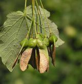 javor tupý <i>(Acer obtusatum)</i> / Plod