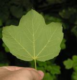 javor kalinolistý <i>(Acer opalus)</i> / List