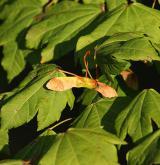 javor okrouhlolistý <i>(Acer circinatum)</i> / Plod