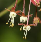 javor okrouhlolistý <i>(Acer circinatum)</i> / Květ/Květenství