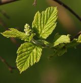 javor tatarský <i>(Acer tataricum)</i> / List