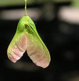 javor tatarský <i>(Acer tataricum)</i> / Plod