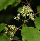 javor tatarský <i>(Acer tataricum)</i> / Květ/Květenství