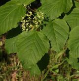 javor tatarský <i>(Acer tataricum)</i> / Habitus