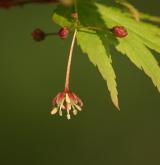 javor dlanitolistý <i>(Acer palmatum)</i> / Květ/Květenství