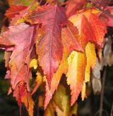 javor ginnala (amurský) <i>(Acer ginnala)</i> / List