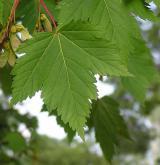 javor lysý <i>(Acer glabrum)</i> / List