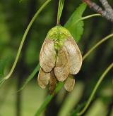 javor lysý <i>(Acer glabrum)</i> / Plod