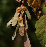 javor čtyřčetný <i>(Acer stachyophyllum)</i> / Plod