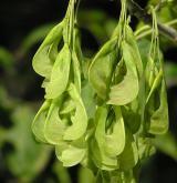 javor jasanolistý <i>(Acer negundo)</i> / Plod