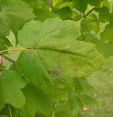 javor černý <i>(Acer nigrum)</i> / List