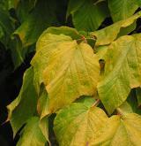 javor pensylvánský <i>(Acer pennsylvanicum)</i> / List