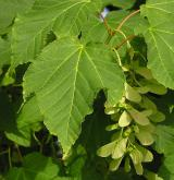 javor vlasonohý <i>(Acer capillipes)</i> / List