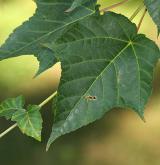 javor vlasonohý <i>(Acer capillipes)</i>