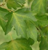 javor babyka <i>(Acer campestre)</i> / List