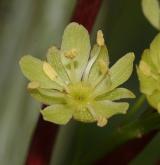 javor vlasonohý <i>(Acer capillipes)</i> / Květ/Květenství