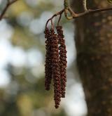 olše lepkavá <i>(Alnus glutinosa)</i> / Květ/Květenství