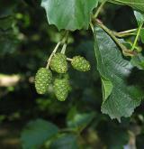 olše lepkavá <i>(Alnus glutinosa)</i> / Plod
